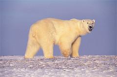 000bf-polarbear-courtesyusfwsphotobyterrydebruhn