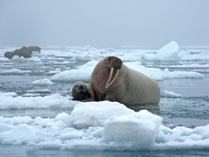 Walruses in the Chukchi Sea - photo courtesy USGS