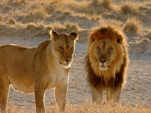 The African lion is estimated to occupy less than 20 percent of its historic range, according to a 2012 paper in PLOS One. Image of lioness and lion in Etosha National Park, Namibia courtesy Wikimedia.