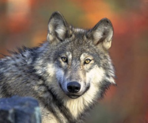 The gray wolf (Canis lupus) is hunted in several western states. Photo courtesy U.S. Fish & Wildlife Service, photo by Gary Kramer.