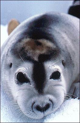 bearded Seal, Erignathus barbatus, , NOAA