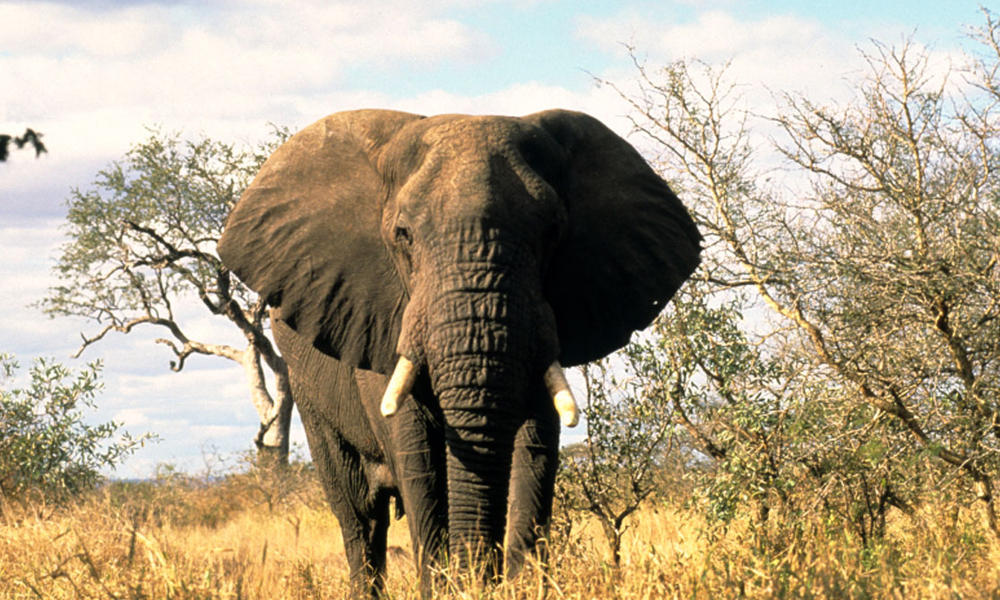 african-elephant-courtesy-wwf
