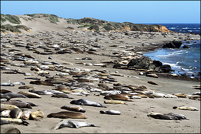 elephant-seals-at-piedras-blancas-photo-courtesy-scripps-institute-of-oceanography-photo-by-wolf-berger