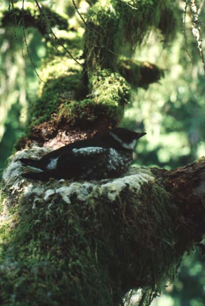 marbled-murrelet-courtesy-usfws