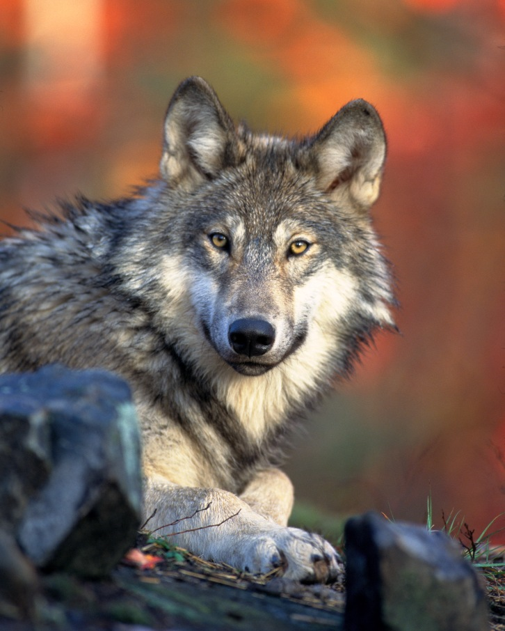The gray wolf is among the species impacted by Wildlife Services' extensive efforts to kill Montana animals. Image courtesy Wikimedia.